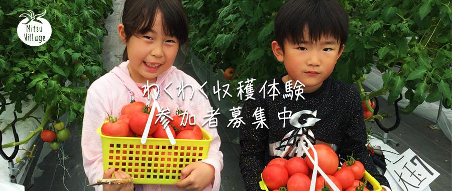 わくわくやおちゃんトマト収穫体験実施中!!