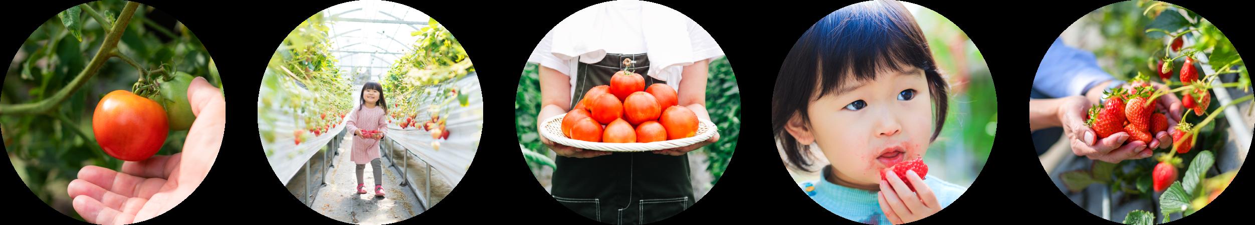 みつヴィレッジのいちご狩りやトマトの収穫体験写真